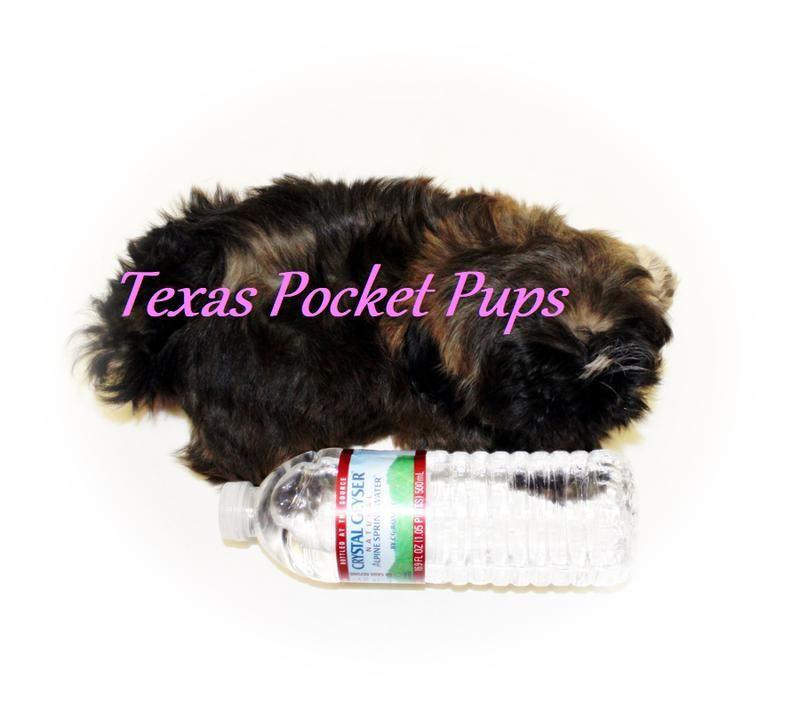 Dallas tx teacup chihuahua puppies for sale dallas texas