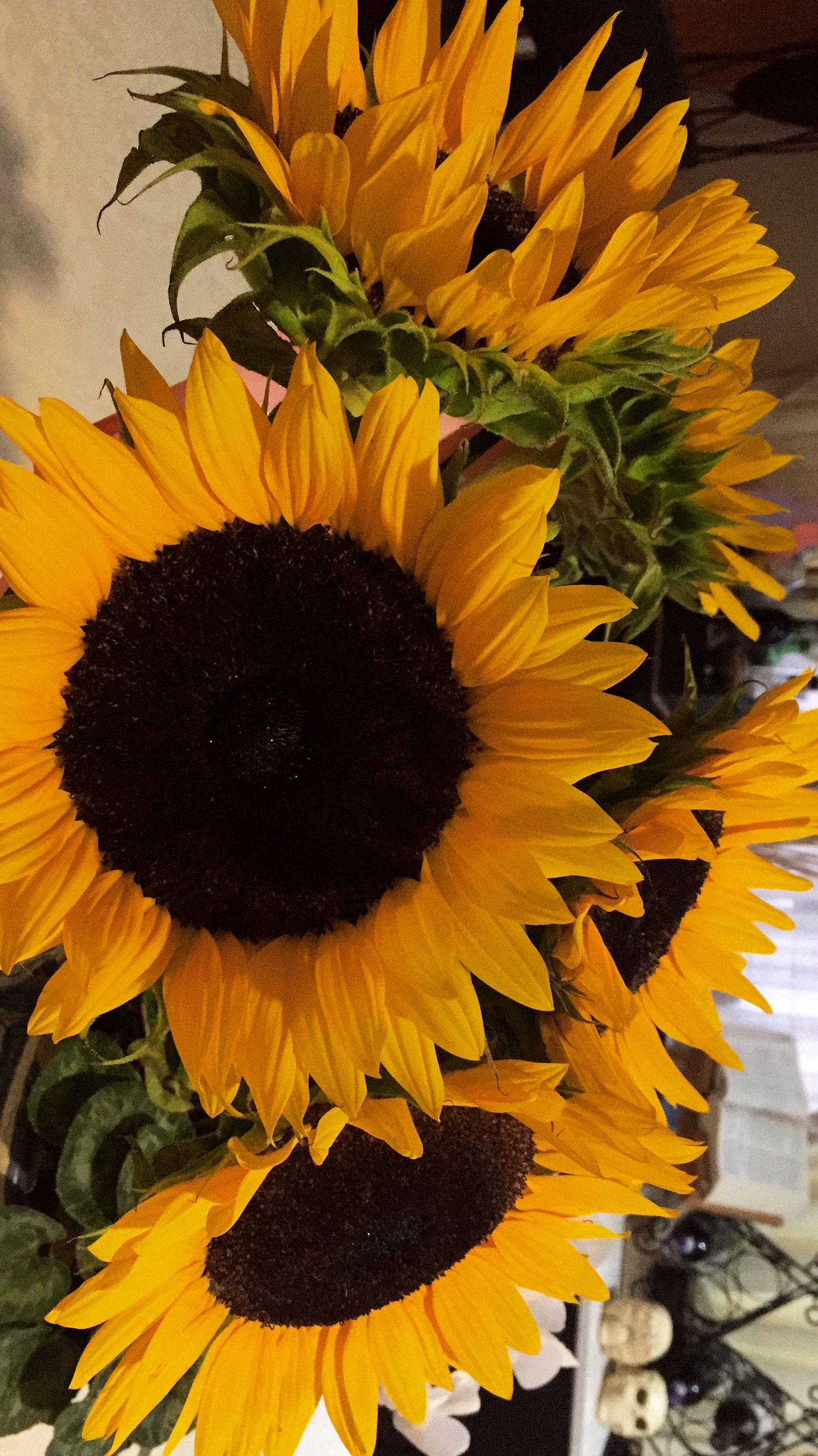 ꮲɪɴᴛᴇʀᴇsᴛ Sɴᴇᴀᴋᴇʀ ʙᴀᴇ Sunflower Wallpaper