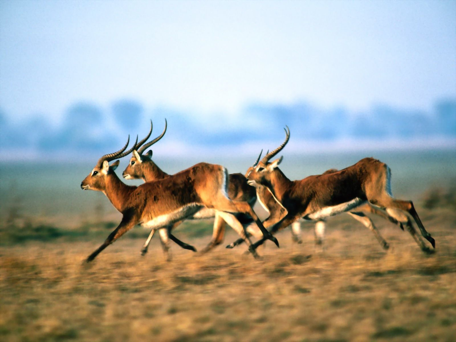 A herd of antelope wallpapers photo images picture a herd of antelope