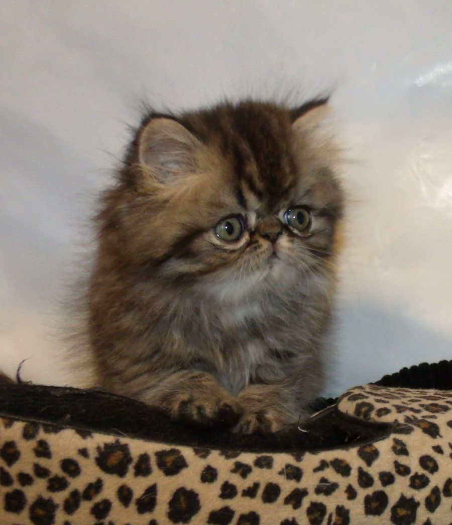 Persian Kitten From Opalreys Something About Brownies Persian Kittens Kittens Cute Cats