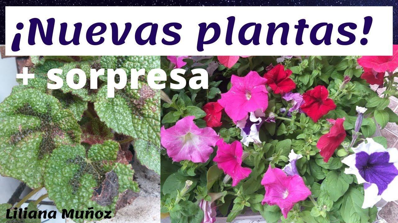 Nuevas Plantas Sorpresa Liliana Munoz Plantas Begonia