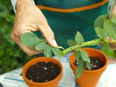 Rosen vermehren: So leicht geht's #deckpatio