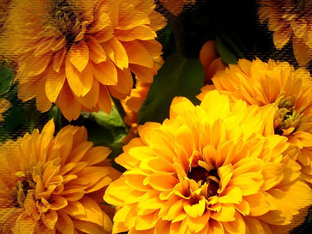 Kwiatostan Tapety Na Pulpit Komputera Http Wallpapic Pl Przyroda Kolorowe Kwiaty Wallpaper 10984 Black Eyed Susan Eye Black Wallpaper