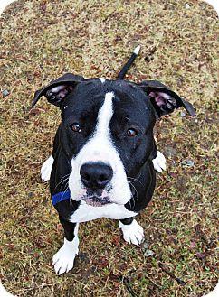 Farmington, ME Great Dane/Boxer Mix. Meet Aries, a dog