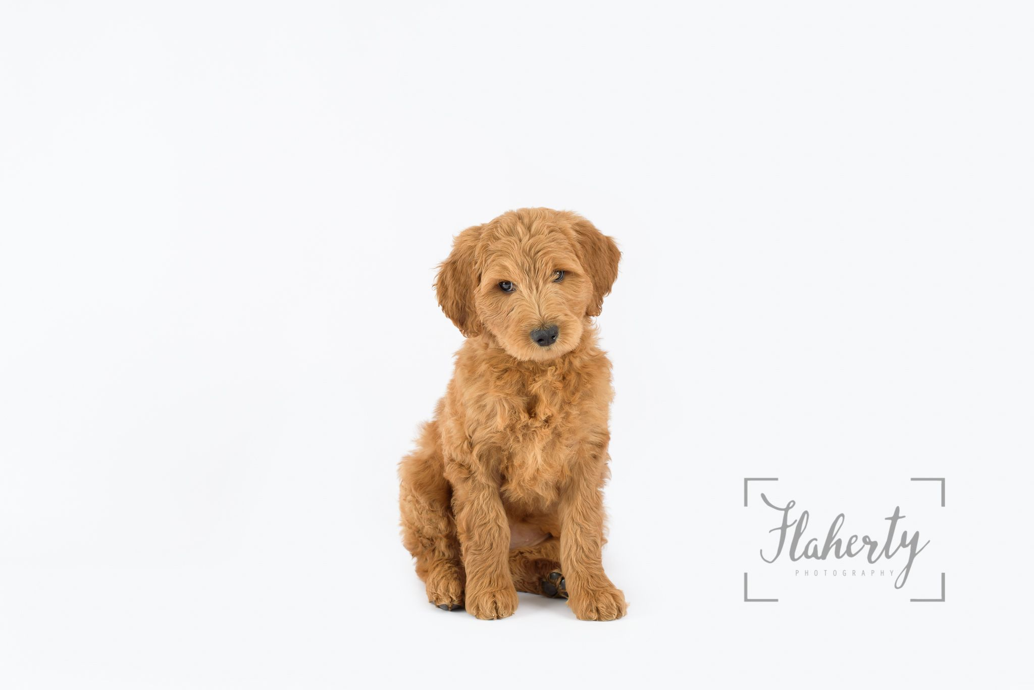 Goldendoodle Puppy Photoshoot Puppy Photo Shoot Puppy Portrait Flaherty Photography Puppy Portraits Goldendoodle Puppy Puppy Photos