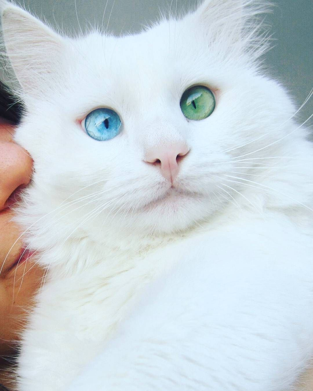 SnowWhite Cat Has The Most Hypnotizing Eyes Of Different Color - This cat has the most amazing multi coloured eyes ever