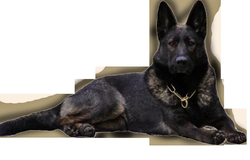 Minxco Png 857 551 Black Sable German Shepherd Sable German Shepherd German Shepherd Pictures