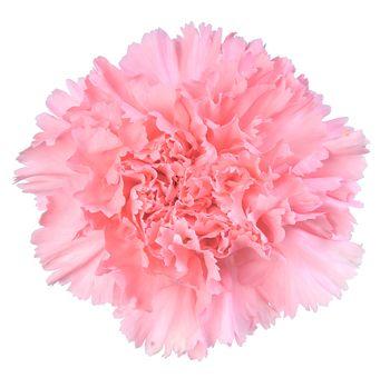 Pink Carnation Flower Pink Carnations Carnation Flower January Birth Flowers