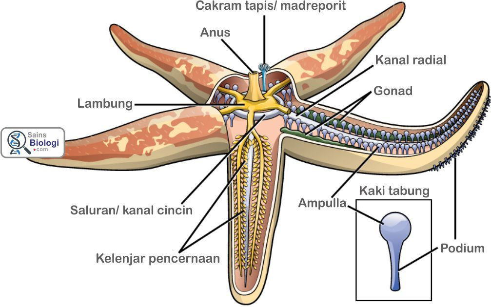 Struktur tubuh Echinodermata | Biologi SMA Kelas X | Pinterest
