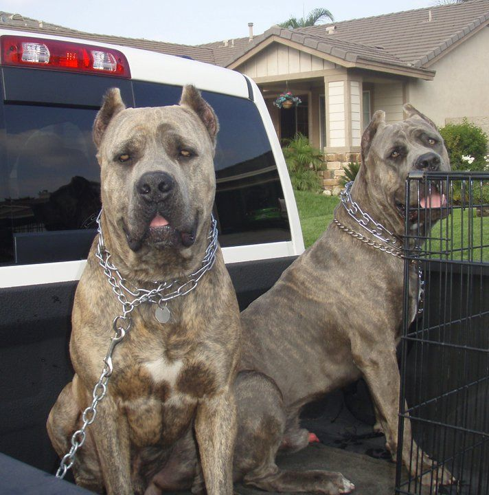 Houfek Mastiffs Is A Family Ran Mastiff Hybrid Mix Designer Breeding And Training Program Our Lines Consis Guard Dog Breeds Big Dog Breeds Mastiff Breeds