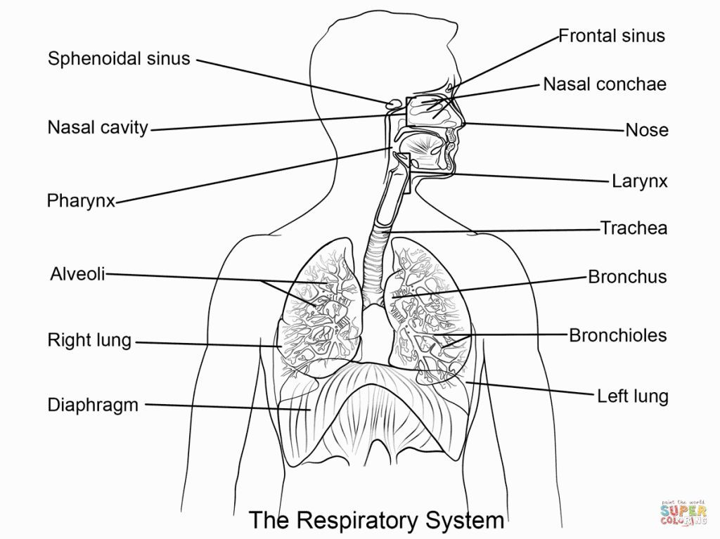 Respiratory System Coloring Page Respiratory System Human