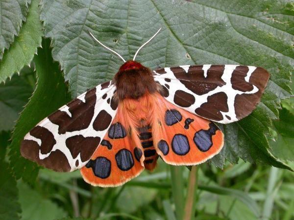 Mariposa-Tigre-de-Quintal (Arctia caja), encontrada na Europa, América do Norte e partes da Ásia.  Garden Tiger moth (Arctia caja), found in Europe, North America and some parts of Asia.