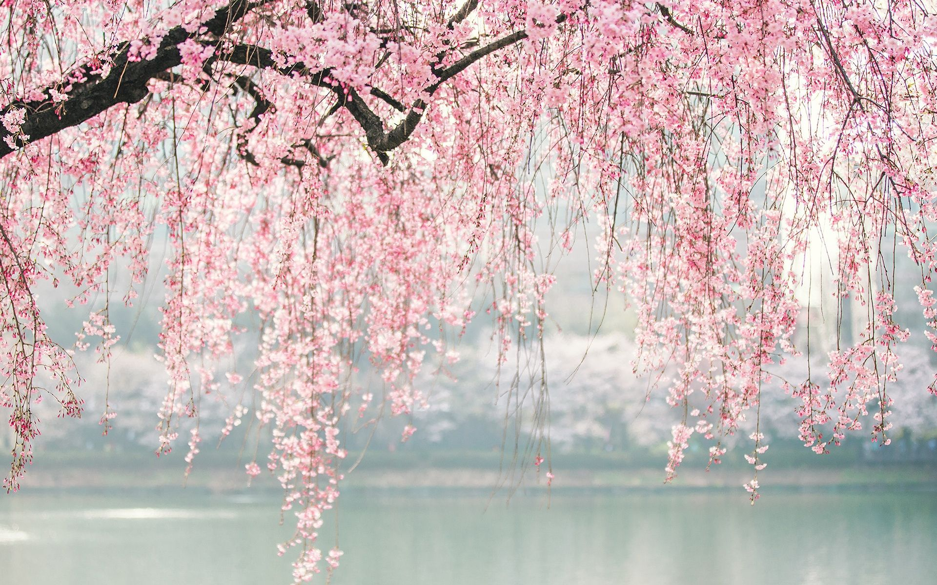 Cherry Blossom Anime Scenery Wallpaper Free Download 90289 Wallpaper Aesthetic Desktop Wallpaper Anime Backgrounds Wallpapers Anime Scenery Wallpaper