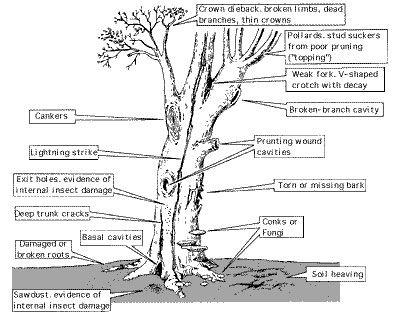 Diagram    of diseased    tree      landscape      Tree    identification