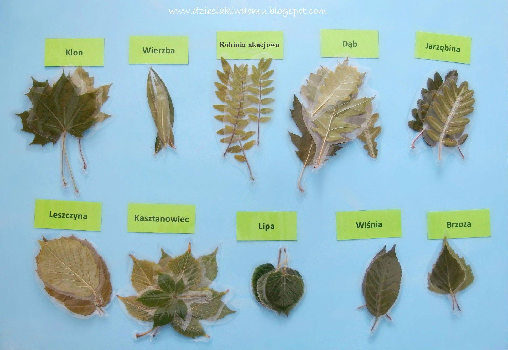 Laminowane Liscie Drzew Material Edukacyjny Dla Dzieci Dzieciaki W Domu Home Schooling Kids Children