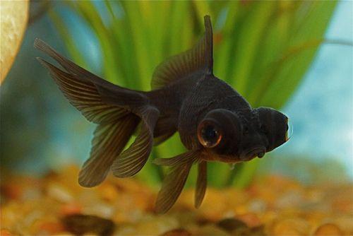 black moor goldfish | Tumblr