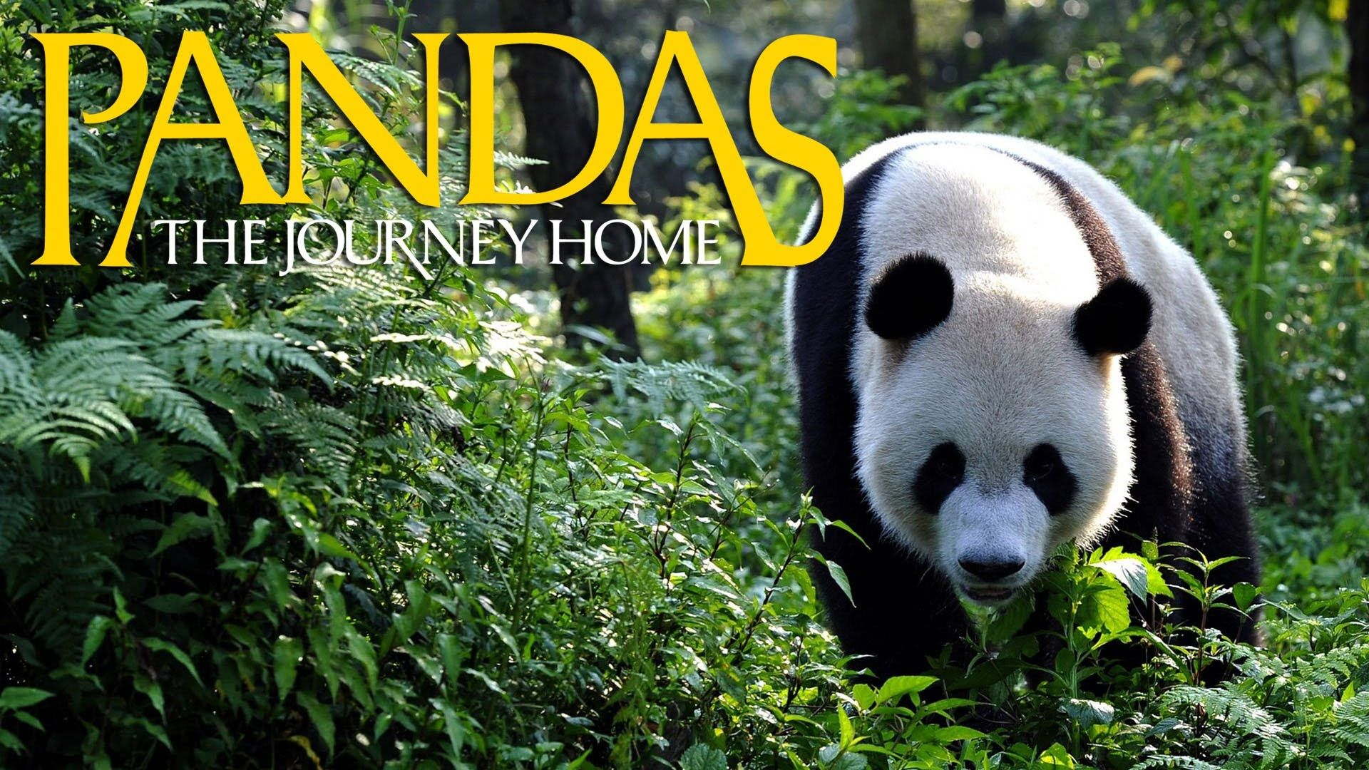 Pandas The Journey Home Trailer Obsessed Saw This At