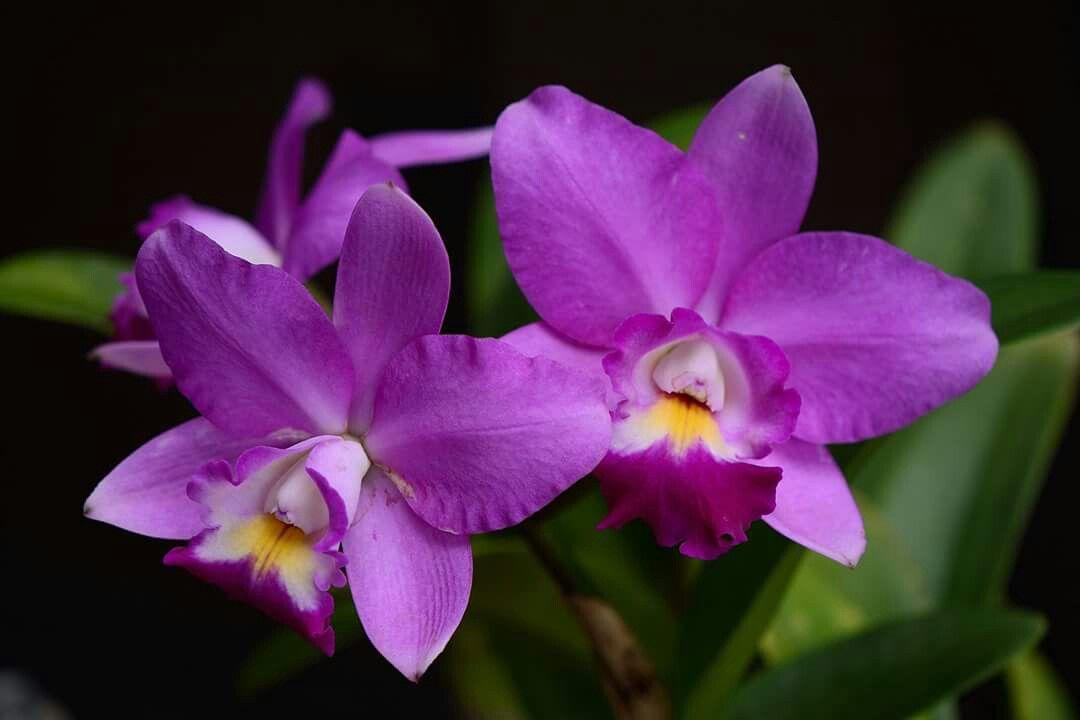 Lc Secret Love Angel Orchids Purple Flowers Cattleya