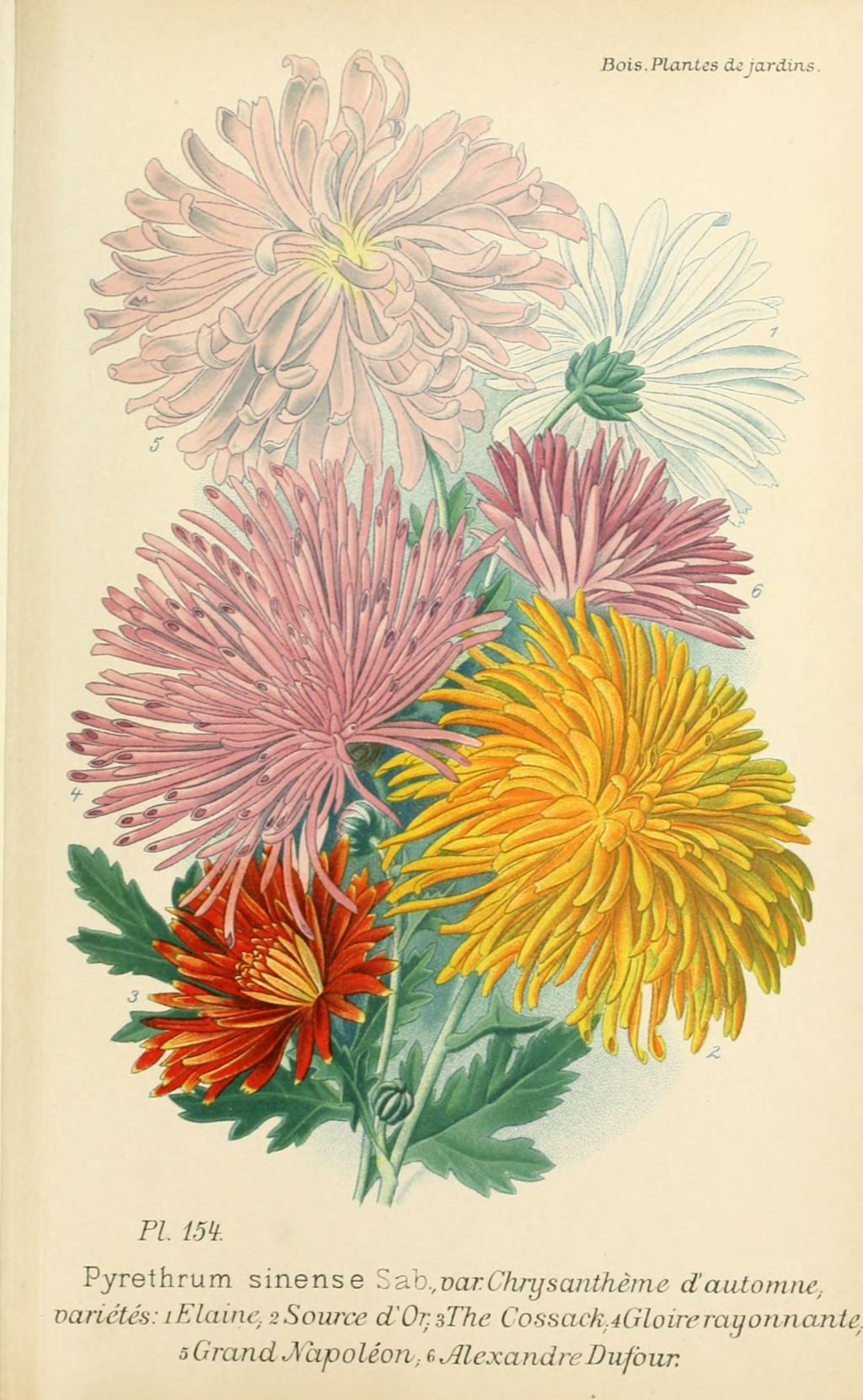 gravures fleurs de jardin - gravure de fleur de jardin 0311 ...