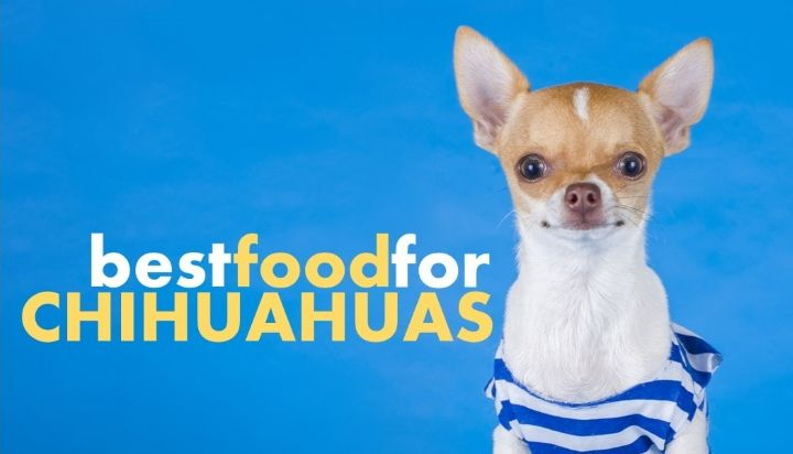 Best Dog Food For Chihuahuas And Which To Avoid Herepup Best Dog Food Chihuahua Best Dogs
