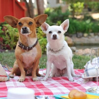 Beverly Hills Chihuahua 3 Viva La Fiesta Dvd Review Obviously