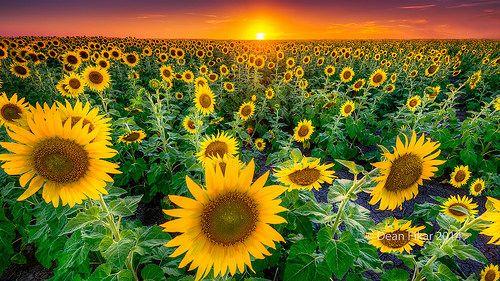 Texas Sunflower Field by dfikar, via Flickr