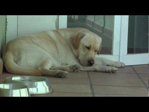 Smart Cute Labrador Dog Defending The House Against A Dangerous