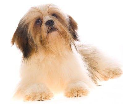 lhasa apso mamagia Lhasa apso, Tibetan dog, Cute little dogs