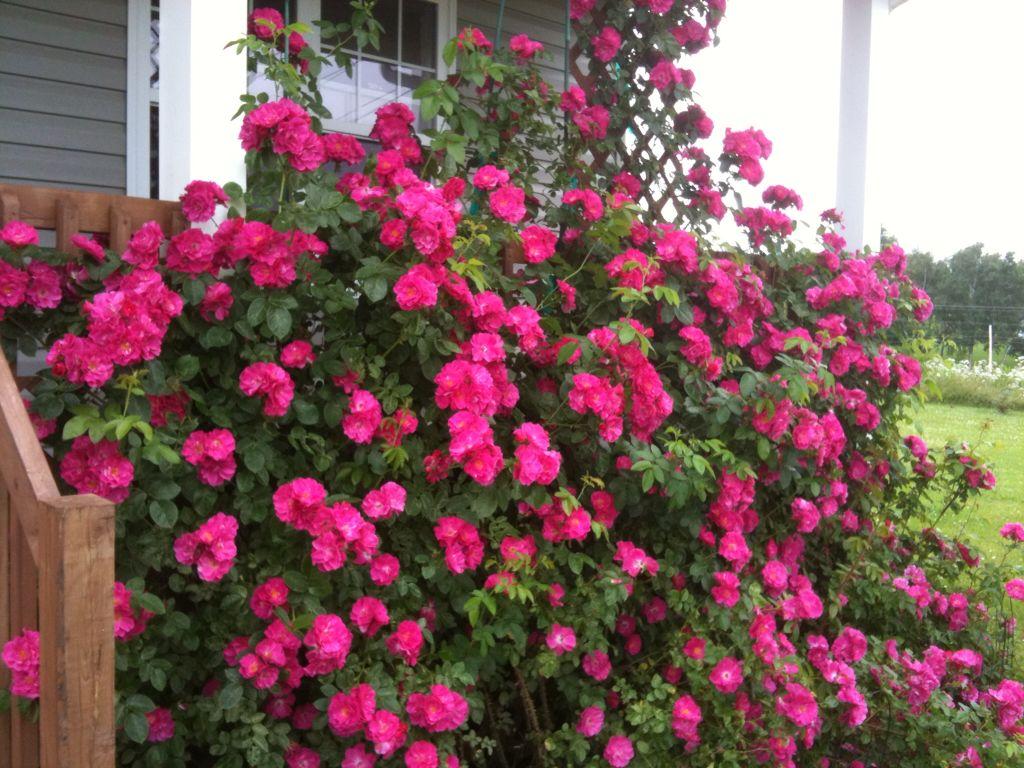 Front Yard Cottage Garden John Cabot Climbing Roses: John Cabot Roses