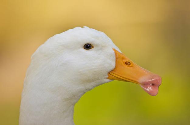 10 Ducks With Human Lips