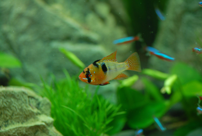 Freshwater Fish aquariums fish Tetrafish