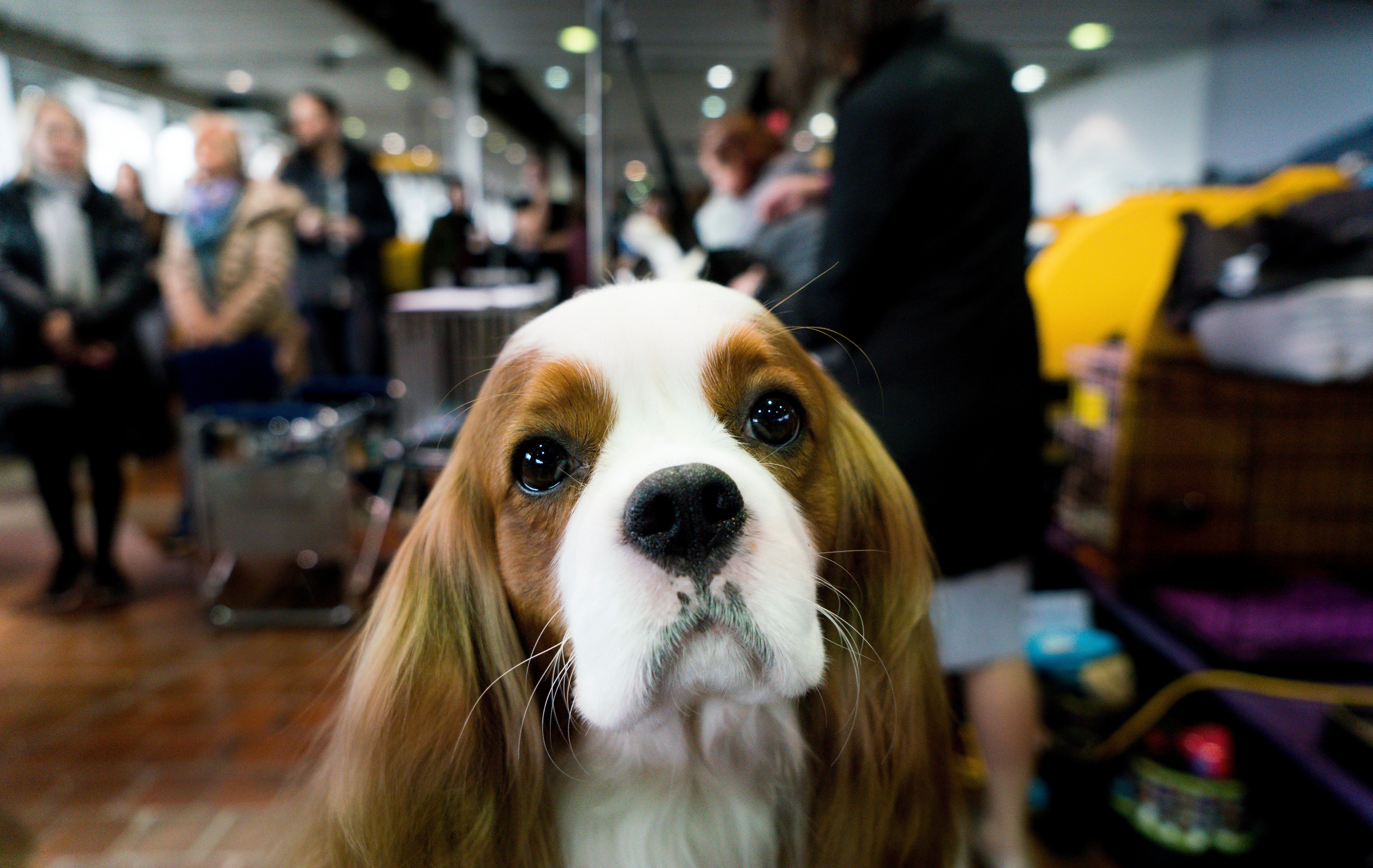 2018 Westminster Kennel Club Dog Show In Pictures Dogs Dog