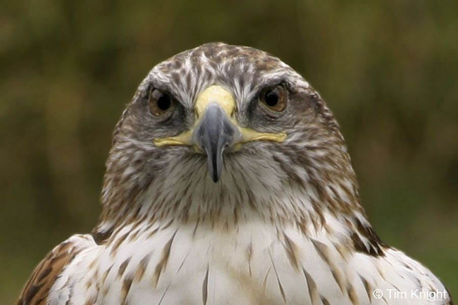 Symbolic Meaning Of The Hawk First Peoples Pinterest High