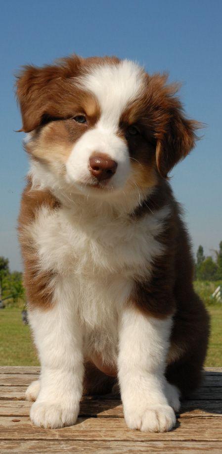 australian shepherd puppy  australianshepherdpuppy
