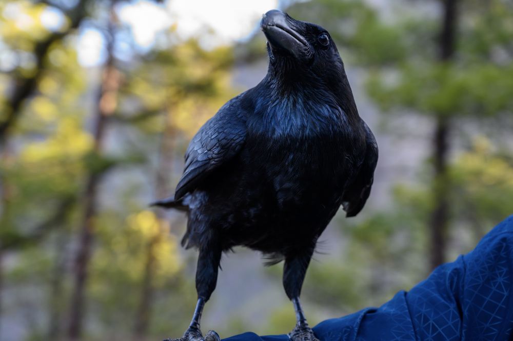 New Caledonian Crows Are Even Smarter and Scarier Than We