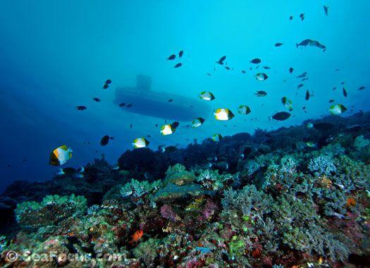 goedkoop voor korting gedachten over hier online Diving Apo Reef National Park   the Philippines   Diving ...