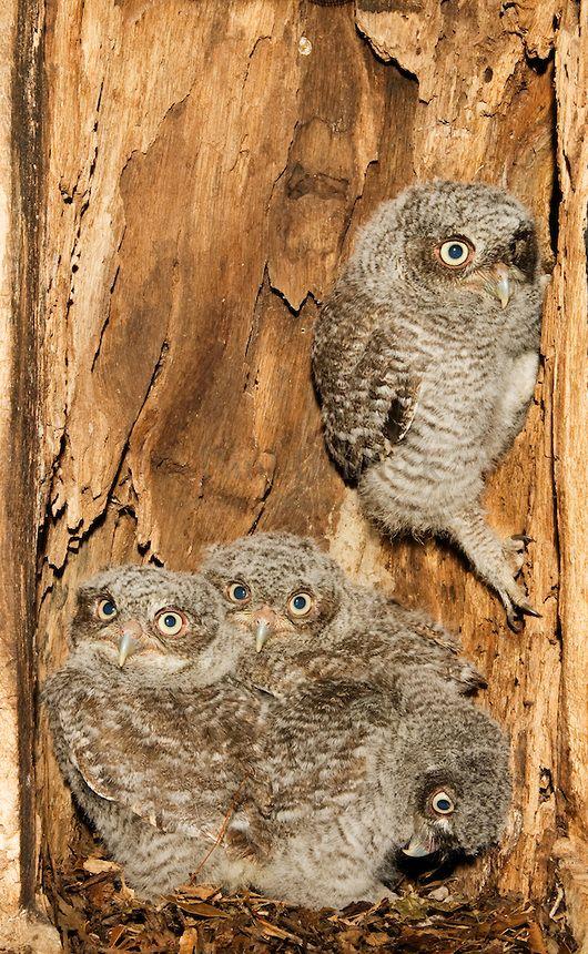 Eastern Screech-Owls (Megascops asio) in their nest