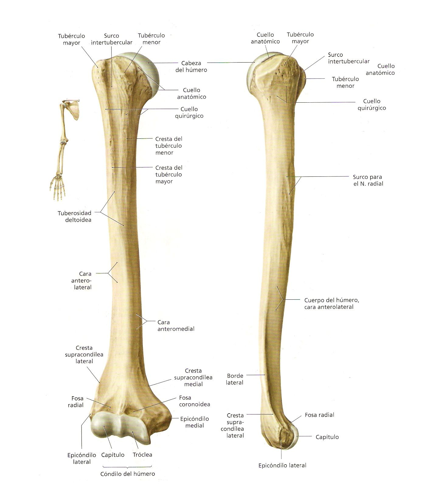 Resultado de imagen para humero | Medicine | Pinterest | Anatomía ...