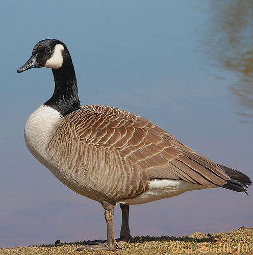 Canada Goose Canada Goose Pet Birds Canadian Goose