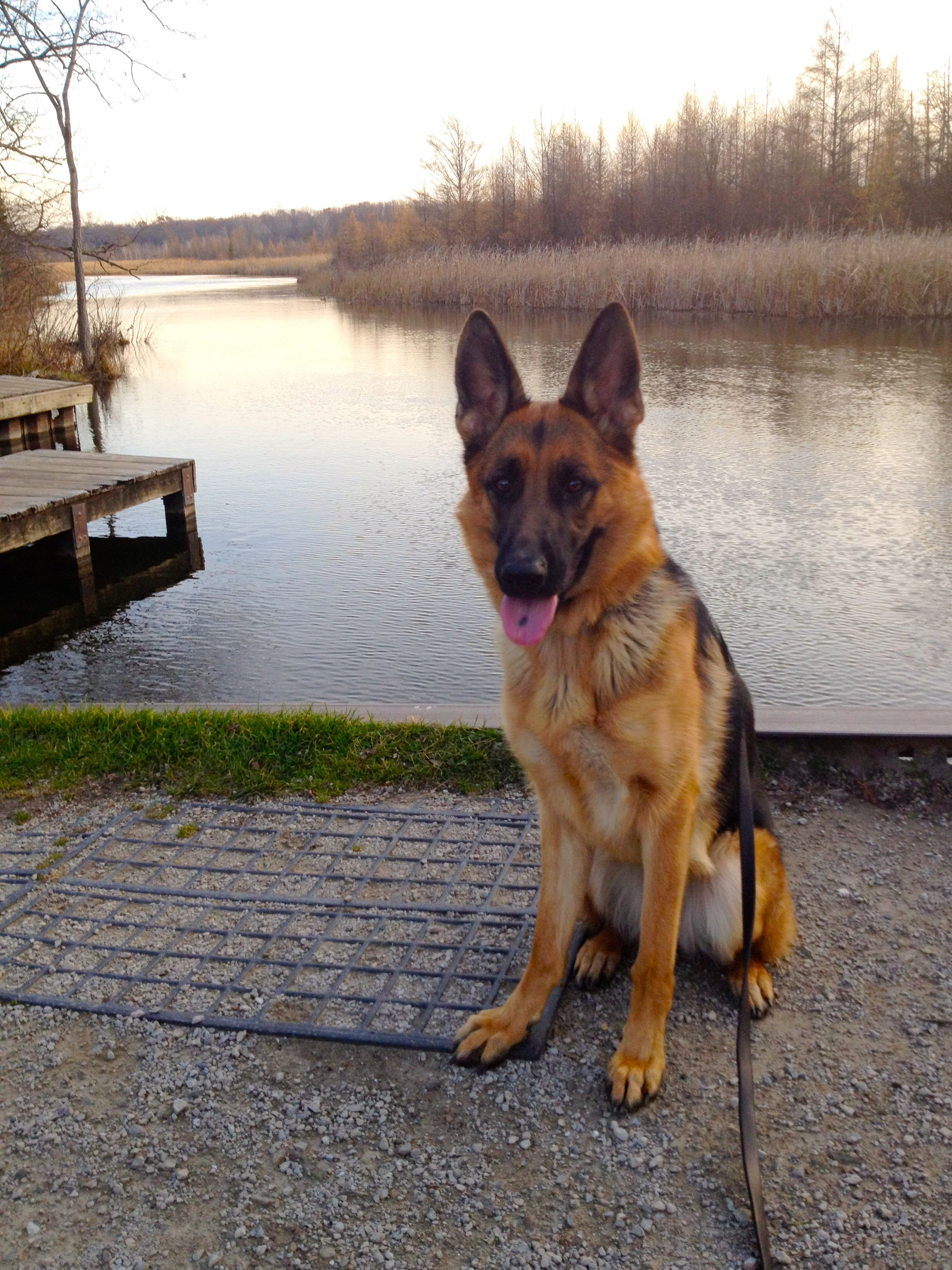 Teach Your Puppy To Walk On A Leash German Shepherd Puppies
