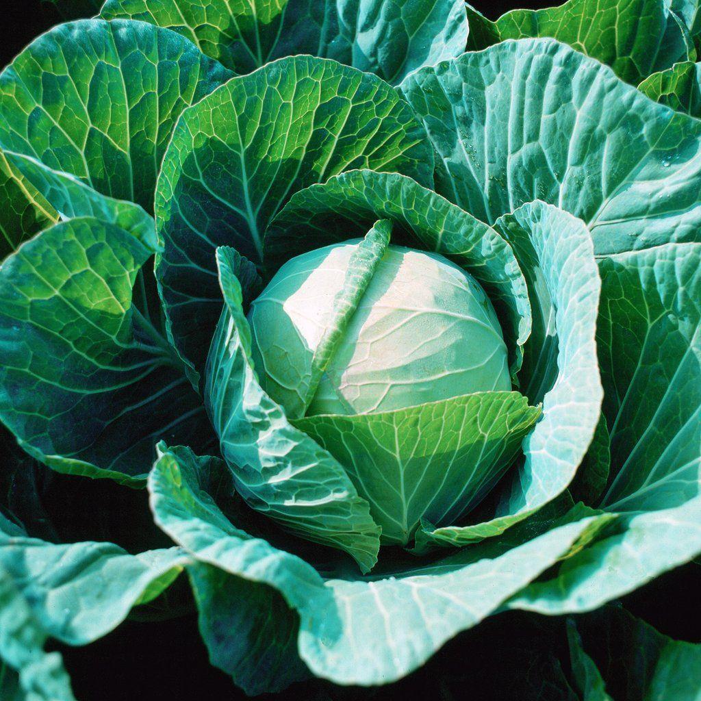 Cabbage farao f1 organic cabbage seeds organic seeds