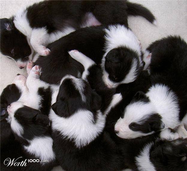 BC Puppy Pile <3