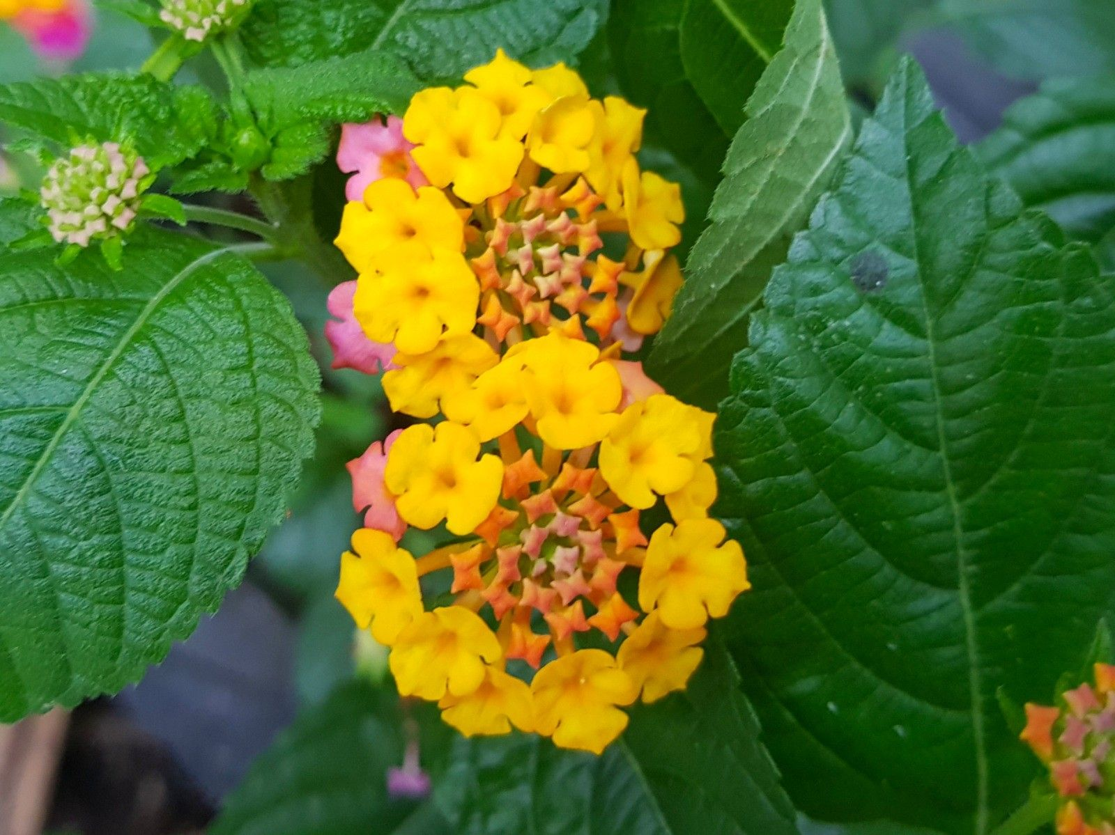 Lantana Flower Lantana Flower Lantana Flowers Name List