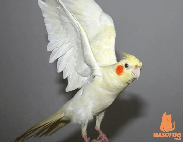 Tipos De Ninfas Te Explicamos Sus Mutaciones Mascotasymas Ninfas Mascotas Animales