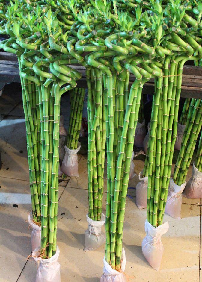 Купить бамбук растение в москве, свадебные букеты
