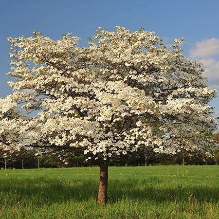 Celestial Shadow Dogwood Fast Growing Trees Dogwood Trees Flowering Trees