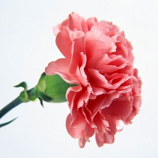 10over10news Carnation Flowers Carnations Can Be Steeped In Wine Candy Or Use As Cake Decorati Carnation Flower Carnation Plants Carnation Flower Meaning