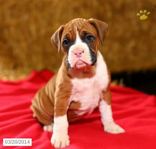Boxer Puppy For Sale In Pennsylvania Boxer Puppies Boxer