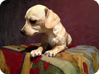 Toledo Oh Chihuahua Mix Meet Bonnie A Puppy For Adoption