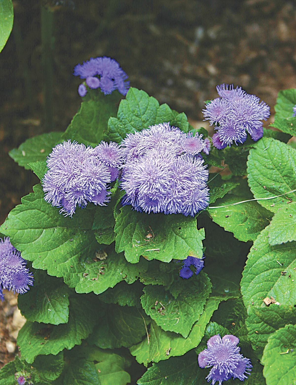 Blue Mink Ageratum Discontinued Flowers Flowers